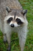 Raccoon makes eye contact — Stock Photo