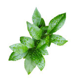 Fresh green lemon leaves with water drops — Stock Photo