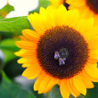 Sun flower with bees - Stock Photo