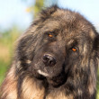 Caucasian Shepherd — Stock Photo