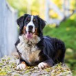 Stock Photo: Bernese Mountain Dog