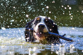 Bernese Mountain Dog — Stock fotografie
