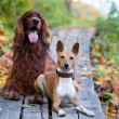 Dogs in autumn park — Stock Photo #13805236