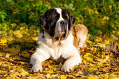 Dog in autumn park — Stock Photo