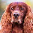 Stock Photo: Red irish setter