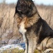 Caucasian Shepherd dog in autumn field — Stock Photo