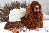 Red dog and white cat — Stock Photo