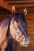 黒い馬 — ストック写真