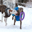 Weimaraner and ibizan hound dogs — Stock Photo