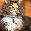 Foto Stock: Maine Coon cat