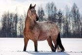 Light-bay mare horse — Stock Photo