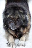 Caucasian Shepherd dog — Stock Photo