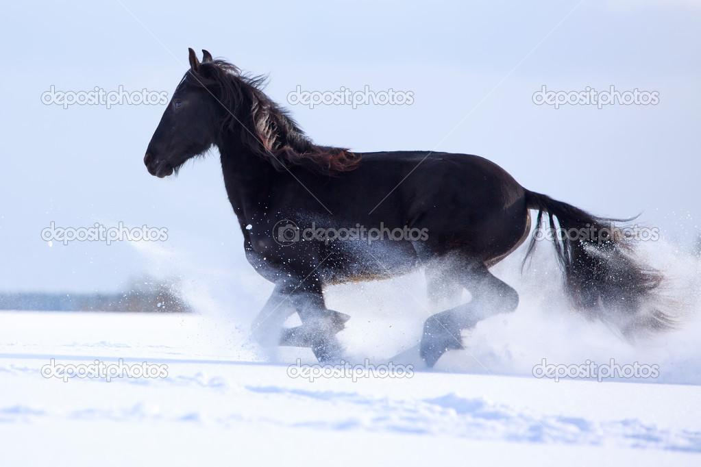 Friesian Horses Running Friesian Horse at Winter