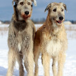 Irish wolfhound dog — Stock Photo #23217056