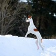 Ibizan hound dog — Stock Photo #23276500