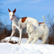 Ibizan hound dog — Stock Photo #23276866