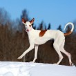 Ibizan hound dog — Stock Photo #23279418