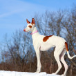 Stock Photo: Ibizan hound dog