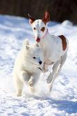 ибицы гончая собака — Стоковое фото