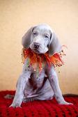 Weimarse staande hond blauwe puppy hondje — Stockfoto