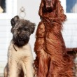 Stock Photo: Irish setter and briard dogs