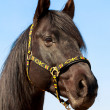 Black stallion horse — Stock Photo