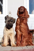 Irish setter and briard dogs — Stock Photo