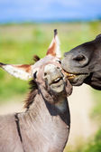 Black horse and gray donkey — Stock Photo