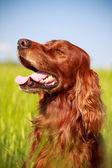 Dog in field — Stock Photo