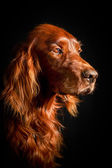 Red dog — Stock Photo