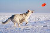 Cão branco — Fotografia Stock
