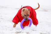 Dog active play — Stock Photo