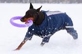 Dog active play — Stok fotoğraf