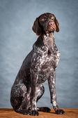 Szary pies — Zdjęcie stockowe