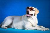Dog photo in studio — Zdjęcie stockowe
