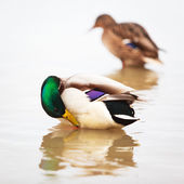 Duck on water — Stock Photo