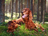 Dog on nature — Stock Photo
