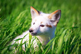 White-red fox — Stock Photo