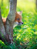 Red fox puppy — Stock Photo
