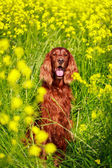 Dog in summer field — Zdjęcie stockowe