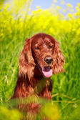 Dog in summer field — Stockfoto