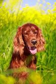 Dog in summer field — Foto Stock