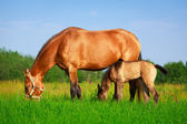 Horse in summer field — Stock Photo