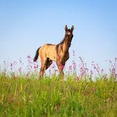 Horse in summer field — Stockfoto