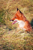 Red Fox on farm — Stock Photo