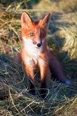 Red Fox on farm — Stock Photo