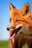 Küçük kırmızı tilki — Stok fotoğraf