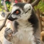 Close-up portrait of lemur catta (ring tailed lemur) — Stock Photo