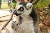 Close-up portrait of lemur catta (ring tailed lemur) — Stock Photo