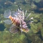 Lionfish zebrafish underwater close-up — Stock Photo
